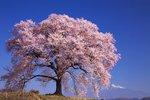 わに塚の桜.jpg
