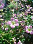 お庭の花 (1).JPG