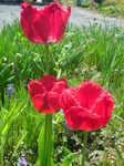 お庭の花 (5).JPG