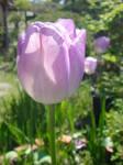 お庭の花 (7).JPG