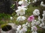 桃の花 (2).JPG