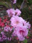 桃の花 (5).JPG