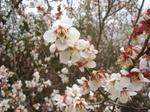 梅と桜 (2).JPG