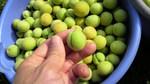 梅の収穫 (1).JPG