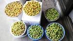 梅収穫.JPG