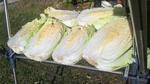 白菜漬け (3).JPG