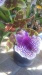 紫香蘭 (1).JPG