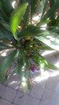 紫香蘭 (2).JPG
