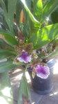 紫香蘭 (3).JPG