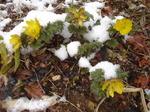 雪が積もった福寿草.JPG